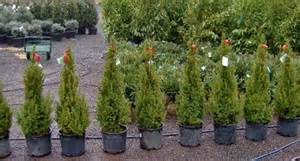 nursery_evergreens