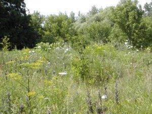 weedy field